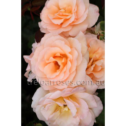 Apricot Nectar - 90cm Standard
