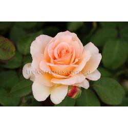 Apricot Nectar - 90cm Standard