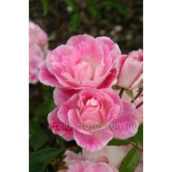 Blushing Pink Iceberg - 90cm Standard