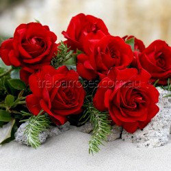 Gallipoli Centenary Rose