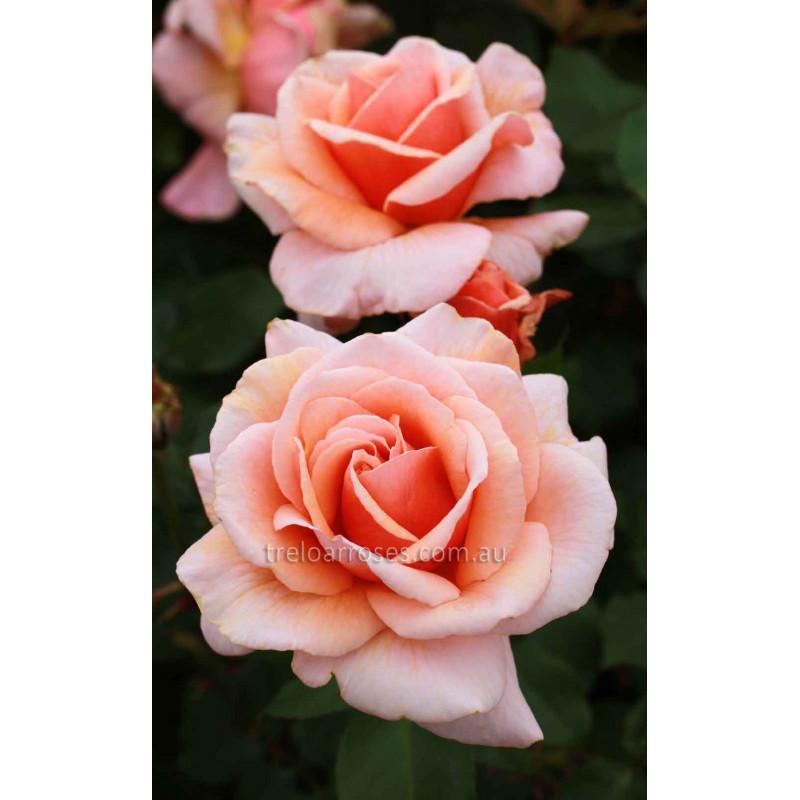 Iced Ginger - Shop Treloar Roses - Premium Roses For Australian ...
