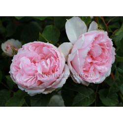 The Wedgwood Rose
