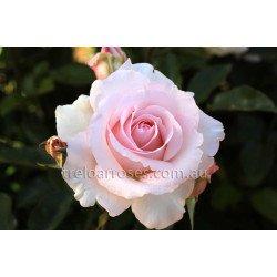 Mother's Love - 90cm Standard