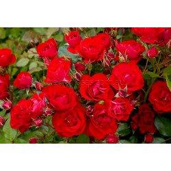Black Forest Rose - 60cm Patio Standard