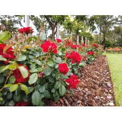 Black Forest Rose (Potted Rose)