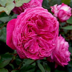 Delightful Parfuma (Potted Rose)
