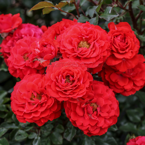 Dwarf Fairy (Potted Rose)