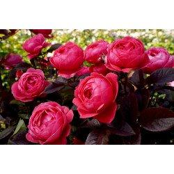 Fruity Parfuma (Potted Rose)