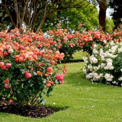 Floribunda Bush Roses
