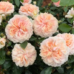 Garden Of Roses - 60cm Patio Standard