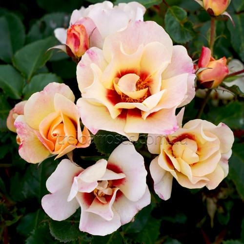Harmonize - Climbing (Potted Rose)