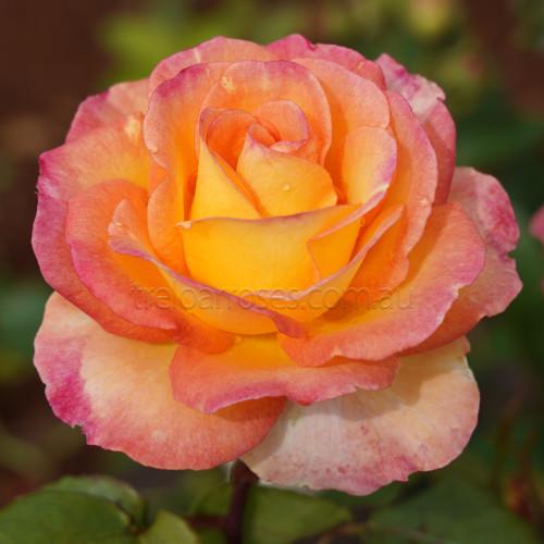 The Jubilee Rose
