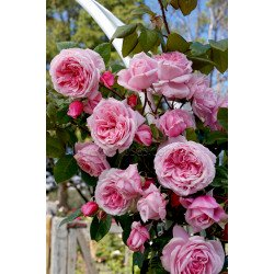 Kiss Me Kate - Climbing (Potted Rose)