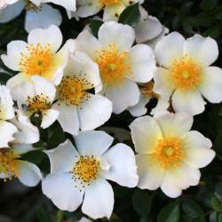 Little Wonder (Potted Rose)