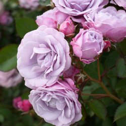 Tangles (Potted Rose)