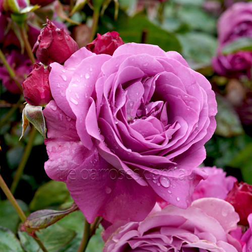 Transplant Australia's Thank You Rose