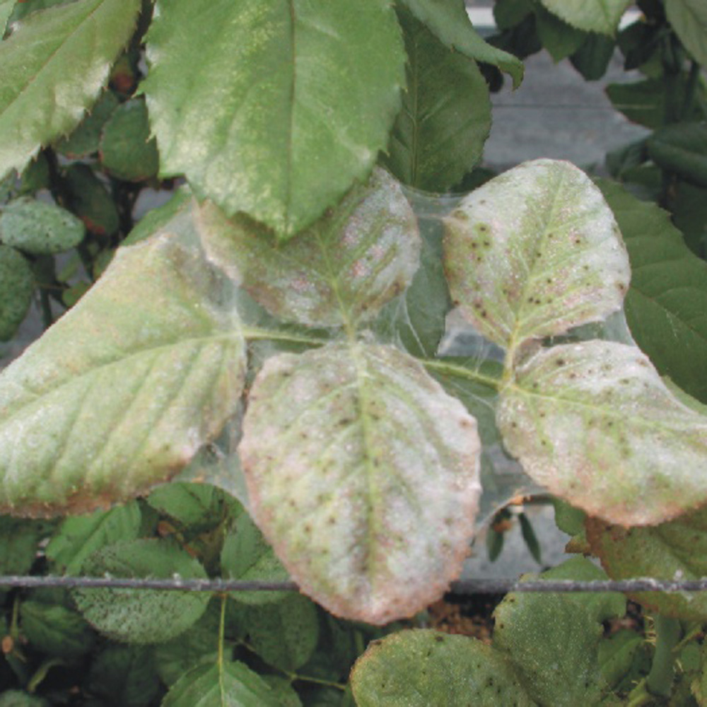 report on a new predatory mite There are several beneficial predator mites that can help with spider mite control these predator mites are an effective biological control against spider mites.